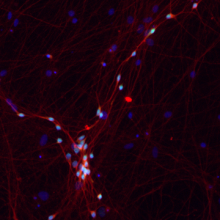 Neurons Kampmann Lab